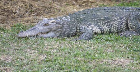 The Relax of mugger crocodile. Huge Alligator.
