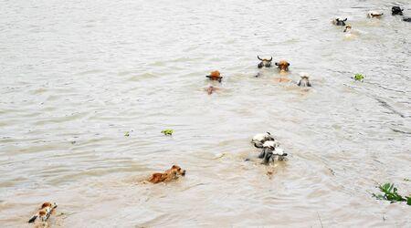 The Cows swim across the river. Mammal. Archivio Fotografico