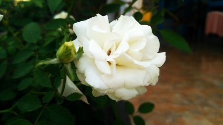 A picture of a rose flower, White color and petal Banco de Imagens