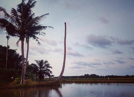 Pictures of the coconut trees