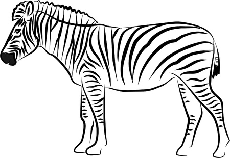captive: nice zebra with his black and white stripes