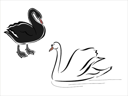 webbed: two swans, one white and one black Illustration