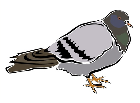 oviparous: drawing of a pigeon