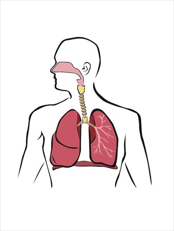 diagram of human respiratory system