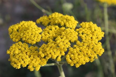 millefolium: Yellow flowering yarrow Achillea millefolium.