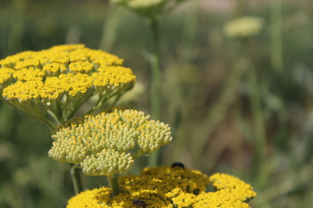 yarrow: Yellow flowering yarrow Achillea millefolium.