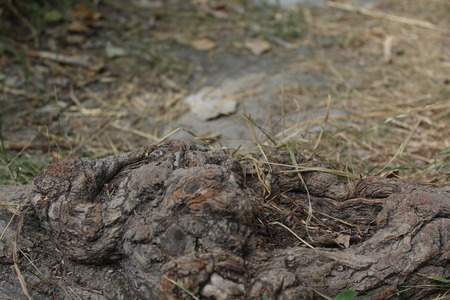 Details of above ground root of an old tree. Stock Photo