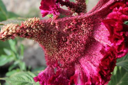celosia: Red Cockscomb. Celosia Cristata flower Stock Photo
