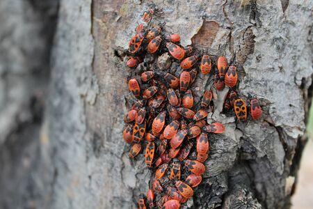 firebug: Firebug red insect colony. Nature, macro.