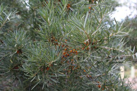 argousier: Bush de baies d'argousier avec baies m�res. Balykchy, Ysyk-Koel, Kirghizistan.