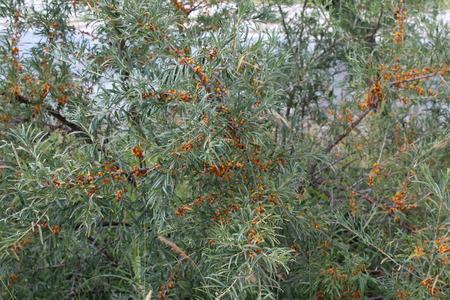 argousier: Bush of sea-buckthorn berries with ripe berries. Balykchy, Ysyk-Koel, Kyrgyzstan.