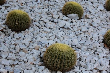 cactus species: