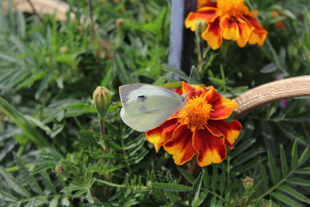 brassicae: Cabbage White butterfly feeding on yellow-red flower.