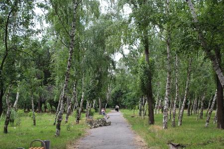 Birch forest in daylight.