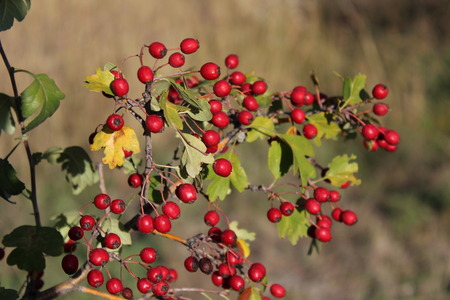 sorb: Close up of branch with red autumn berries.