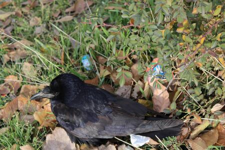 sheen: Close-up of Black Crow on the ground. Stock Photo