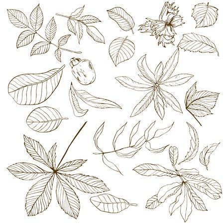 hojas de arbol: Conjunto de diversas hojas nueces, dibujado a mano