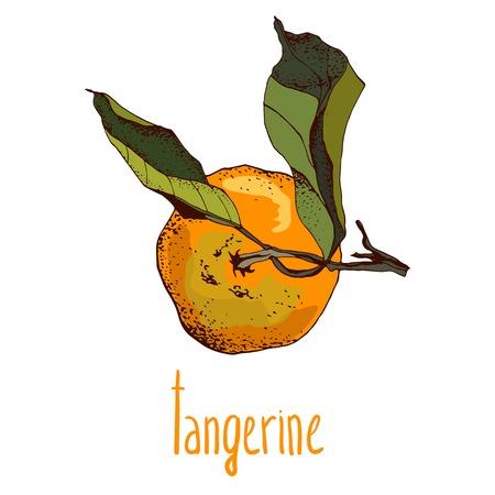 tangerine: Illustrations of tangerine in retro style, hand drawn