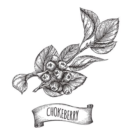 Cute vintage engraved branch of chokeberry withe berries and leaves, vintage ribbon with place for text, vector illustration for farm markets design