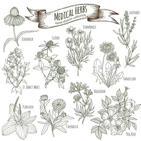 Set of hand drawn medicinal herbs, including clover, lavener, echinacea, st john's wort, dandelion, dog rose, chamomile, valeriana, calendula, plantain. Engraving, sketch style.