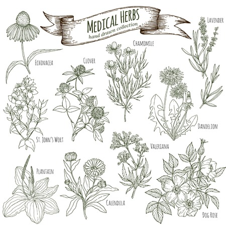 Set of hand drawn medicinal herbs, including clover, lavener, echinacea, st john's wort, dandelion, dog rose, chamomile, valeriana, calendula, plantain. Engraving, sketch style.