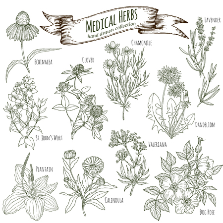 Set of hand drawn medicinal herbs, including clover, lavener, echinacea, st johns wort, dandelion, dog rose, chamomile, valeriana, calendula, plantain. Engraving, sketch style. Imagens