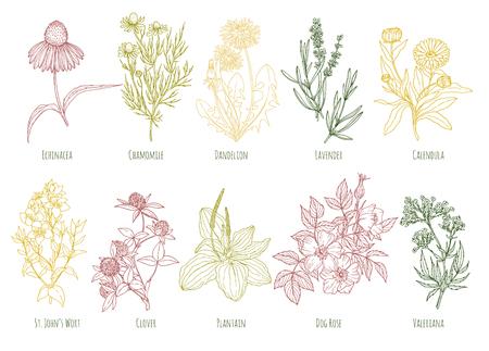 calendula: Vector vintage set of ten colored medicinal herbs.