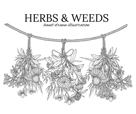 calendula: Three bouquets of medicinal herbs hanging on a cord, rope bows, herbal tea. Illustration