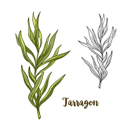 Illustration réaliste croquis couleur de l'estragon, illustration vectorielle