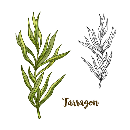 Full color realistic sketch illustration of tarragon, vector illustration Illustration