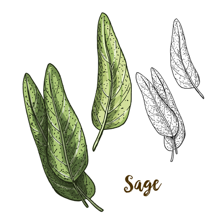 Full color realistic sketch illustration of sage, vector illustration