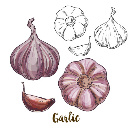 Full color realistic sketch illustration of garlic, vector illustration Illustration