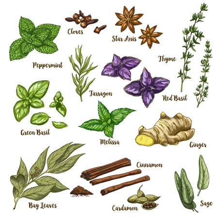 Full color realistic sketch illustration of culinary herbs and spices. Vector Illustration