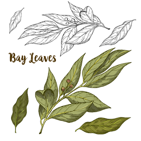 Full color realistic sketch illustration of bay leaves, vector illustration Illustration