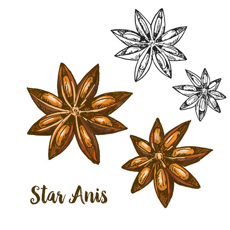 Full color realistic sketch illustration of star anis, vector illustration Ilustração