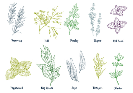 Set of colored hand drawn culinary herbs and spices, vector illustration Ilustrace