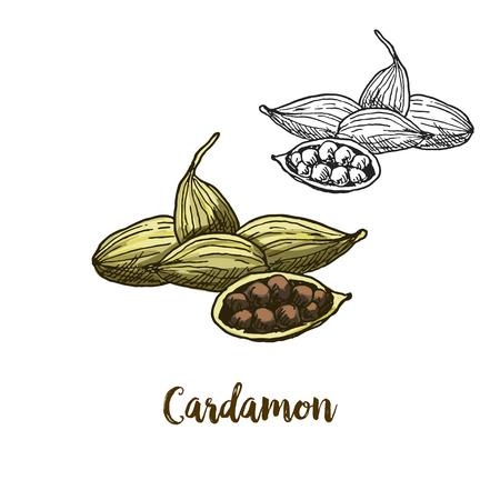 Full color realistic sketch illustration of cardamon, vector illustration