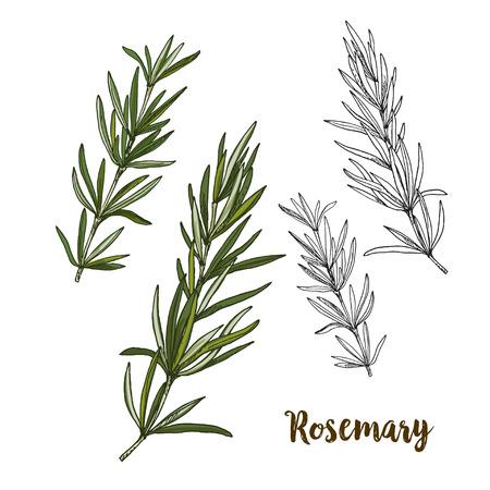 Full color realistic sketch illustration of rosemary, vector illustration