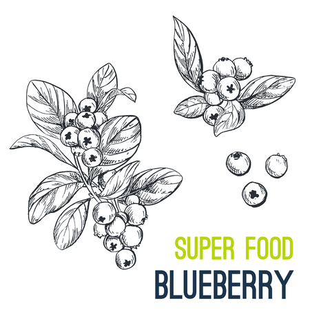 Blueberry. Super food hand drawn sketch vector illustration.