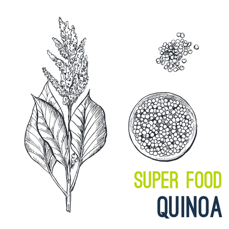 Quinoa. Super food hand drawn sketch vector illustration.