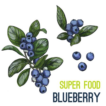 ブルーベリー。フルカラー スーパー食品手描きスケッチ ベクトル イラスト。