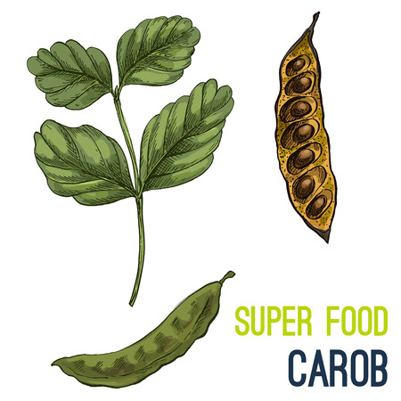 Carob. Full color super food hand drawn sketch vector illustration. Illustration