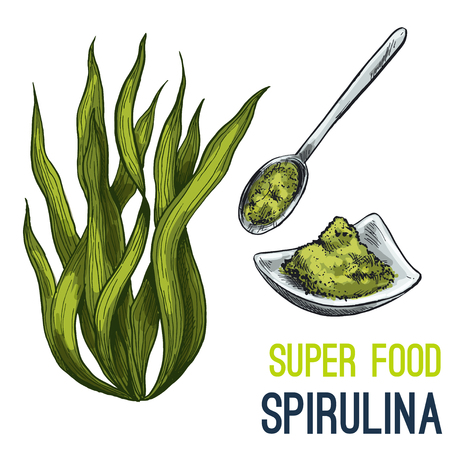 Spirulina. Full color super food hand drawn sketch vector illustration.