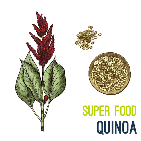 Quinoa. Full color super food hand drawn sketch vector illustration. Vettoriali