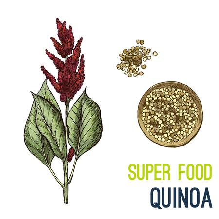 Quinoa. Full color super food hand drawn sketch vector illustration. Stock Illustratie