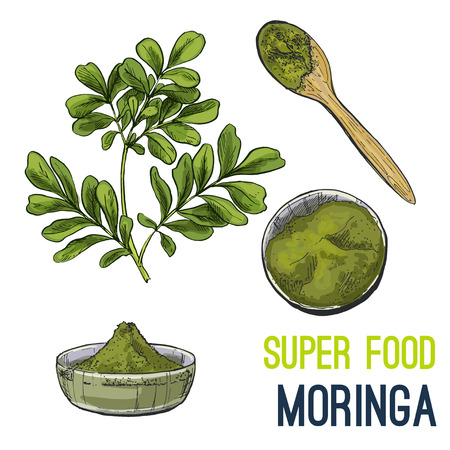 Moringa. Full color super food hand drawn sketch vector illustration.