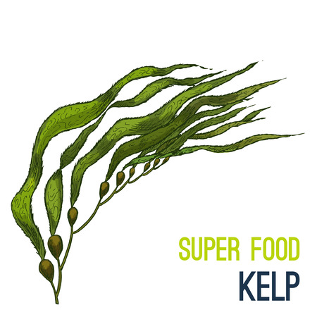 Kelp. Full color super food hand drawn sketch vector illustration. Illustration