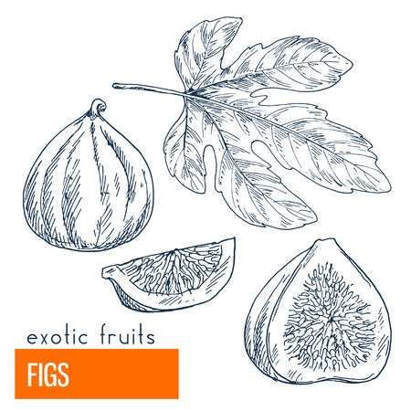 Figs. Hand drawn vector illustration, vintage enngraving style. Иллюстрация