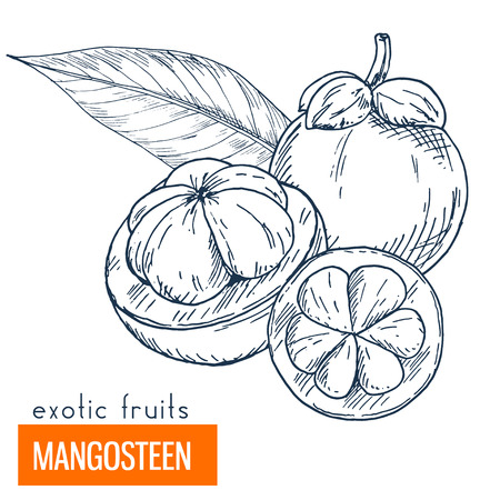 Mangosteen. Hand drawn vector illustration, vintage enngraving style.