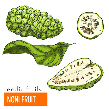 Noni fruit, Full color realistic hand drawn vector illustration.